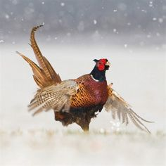 Pheasant surprise Christmas card http://www.woodlandtrustshop.com/products/164-long-tailed-tits.aspx?utm_source=pinterest_medium=social_campaign=pinterest_shop
