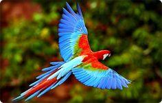 Guacamayo-rosado-ave-de-la-Selva-del-Darien