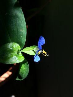 Blue flower τηλέγραφος