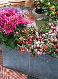 Chrysanthèmes et pernettyas - F. Marre<br />Jardinerie Ferme de Gally…
