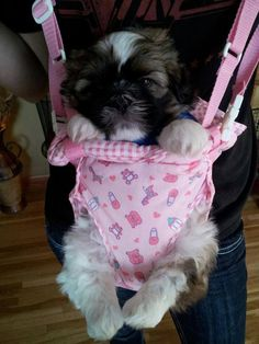 This little shih tzu is so cute... although I'd never make my own dog this uncomfortable :)