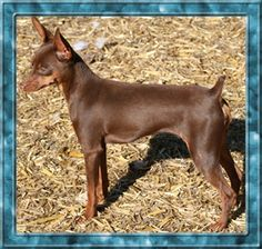 Chocolate Miniature Pinscher - just awesome! Looks like my Macho Menos whom the caregiver let out and did not inform me till it was to late .