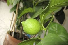 Limonada e tempero ao alcance da mão: plante limões em vaso - 31/03/2014 - UOL Estilo de vida