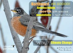 Wonder about the impact citizen-science projects have? A thirty-year bird study demonstrates overwhelming evidence of climate change's impact on birds. The American Robin is moving north and seen less in southern states like Louisiana and Mississippi. This study demonstrates the importance of long-term data sets, often provided by citizen scientists. Without you, we could not do our work! To read more about this research, https://www.sciencedaily.com/releases/2016/03/1603311540