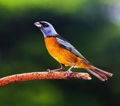 Foto sanhaçu-papa-laranja (Pipraeidea bonariensis) por Breno Fidencio Tamarozzi (Pope Oranage Tanager)