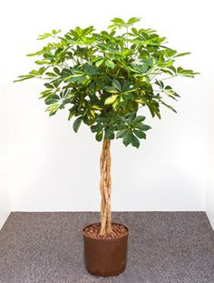 braided umbrella tree schefflera arboricola fits a corner with limited space perfectly large. Black Bedroom Furniture Sets. Home Design Ideas