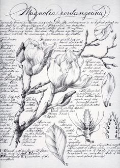 Botanical Illustration in the style of a journal page.  Magnolia is a large genus of about 210 flowering plant species in the subfamily Magnolioideae of the family Magnoliaceae. It is named after French botanist Pierre Magnol. Magnolia is an ancient genus. Appearing before bees did, the flowers are theorized to have evolved to encourage pollination by beetles. [Source: Wikipedia]  Digital Download PDF  - size: Best printed on A4 - hand drawing and dip pen calligraphy - signed and dated…