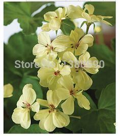 Geranium,First Yellow.One of the hardest colors to get in geranium.Flower Seeds For Home Garden.Bonsai Plants --50seeds