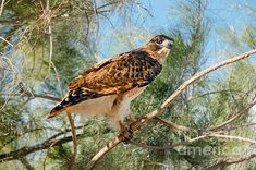 Red-tailed Hawk: See more images at http://robert-bales.artistwebsites.com/