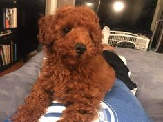 A list of interesting facts about the Poodle, the cutest dog in the world. Red Poodles, Mini Poodles, Baby Dogs, Dogs And Puppies, Doggies, Animals And Pets, Cute Animals, Popular Dog Breeds, Can Dogs Eat
