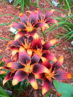 Lily 'Starlette' so pretty | A 1 Nice Blog, fiery flower, flowers, fire color