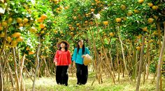 Ben Tre tourism sees fruits of its labour   Cho Lach district, the largest fruit cultivation area in the Mekong Delta province of Ben Tre, has created several tourism products after three years of implementing its tourism development plan in the 2012-15 period, according to the district's People's Committee.   #vietnamtravelnews #vntravelnews #vietnamnews  #traveltovietnam #vietnamtravel #vietnamtour