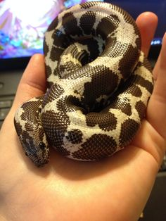 This is Sebastian, my first ever Kenyan Sand Boa. He's so cute and every litter he's sired thus far have been beautiful anerys. I just love him. <3 Look at his button eyes! ^__^