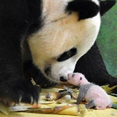 OMG look at that itty bitty panda baby! Guangzhou, China A panda, one of three triplets, faces its mother on August 15 in Guangzhou, Guangdong province. Cute Baby Animals, Animals And Pets, Funny Animals, Baby Pandas, Panda Babies, Wild Animals, Baby Panda Bears, Animal Babies, Nature Animals