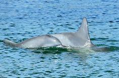 Dolphins at Bribie Island