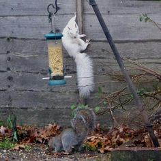 Albino squirrel turned up this morning #aww #Cutesquirrels #squirrel #boopthesnoot #cuddle #fluffy #animals #aww #socute #derp #cute #bestfriend #itssofluffy #rodents #squirrelsofpinterest