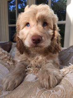Mini Cockapoo, Mini Goldendoodle Puppies, Goldendoodles, Really Cute Puppies, Cute Baby Dogs, Cute Little Puppies, Cockapoo Haircut, Goldendoodle Haircuts, Goldendoodle