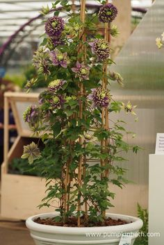 RHS Chelsea Flower Show Plant of the Year 2017 - Pumpkin Beth Betula Pendula, Chelsea Flower Show, Mauve Color, Begonia, Clematis, Shades Of Purple, Blue Flowers, Pumpkin, Garden