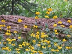 Rudbeckia californica (California Coneflower) is an erect, perennial herb, growing from a thick rhizome, its stem exceeding 3.3 feet (1 m)...