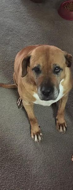 "Bubba: His sister ""JoJo"" is also featured on our Pinterest Board. He is a sweet senior male that still has a lot of LOVE to give! -- Bubba Boxer • Senior • Male • Large Cleveland Park Animal Hospital Greenville, SC"