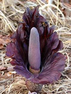 Amorphophallus mossambicensis. After pollination, this odd little purple flower will send up green leaves on a long black stalk.
