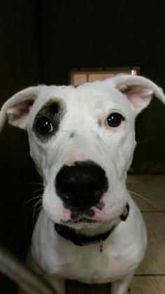 4/17/15 ♥♥ My name is PEARL, and I LOVE PEOPLE! I love to play and am a good girl.♥♥♥♥ Please come to meet me! I dont want to grow old here! 2/28/15 SL ****Petango.com – Meet Pearl, a 8 months 29 days Terrier, Pit Bull / Mix available for adoption in LITTLE ELM, TX