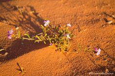 Flores del desiérto de Wadi Rum en la bella Joradnia