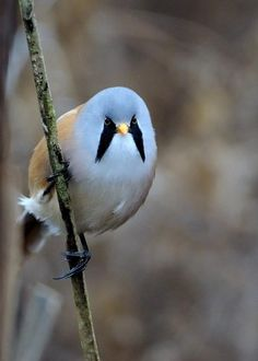 Male Bearded Tit \\Photo by Rivertay07 flickr #birds #cutebirds