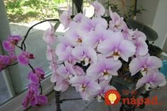 How to water and fertilize orchids in order to get them to rebloom quickly. One of mine hasn't bloomed in nineteen months! Outdoor Plants, Garden Plants, House Plants, Growing Orchids, Growing Plants, Love Flowers, Beautiful Flowers, Blooming Orchid, Orchid Plants