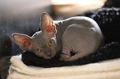 Донской сфинкс (фото): добрая и игривая кошка без одежки  Смотри больше http://kot-pes.com/donskoj-sfinks-foto-dobraya-i-igrivaya-koshka-bez-odezhki/