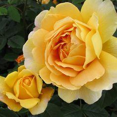'Golden Celebration' rose with bud