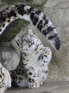 "@pinthestars Snow Leopard Mother & Cub. ""Mama's Tail""."