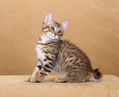 American bobtail kittens for sale in south africa