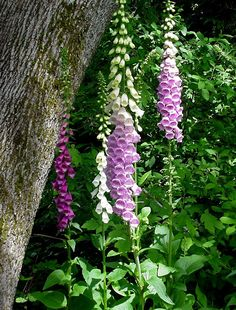 Foxgloves.  Digitalis, a biennial.  This a showy foxglove.  There are perennial ones but the flowers are a pale yellow only.