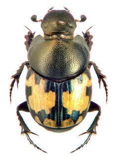 Onthophagus leucomelas