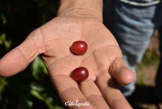 Café La Joya es una pequeña familia de León Cortés, #CostaRica . Ellos producen y benefician su café en búsqueda de un mejor precio.  Su historia en lacafeografa.com  #café #specialtycoffee #caficultura #coffeebeans Plum, Cherry, Fruit, Coffee Store, Jewel, Historia, Prunus