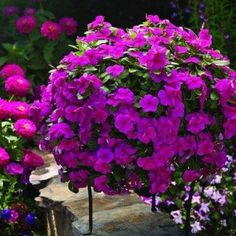 Cora Cascade Vicas have a fantastic trailing habit and feature large vibrant magenta flowers which virtually cover the whole plant. Heat and sun loving these cascading vincas are a top choice for baskets, pots and beds. Flowers, Vinca, Pretty Flowers, Flower Seeds, Hanging Plants, Plants, Magenta Flowers, Pretty Plants, Memorial Flowers