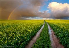 Durbanville, Cape Town, South Africa Canola Rainbow Path (by Panorama Paul) Landscape Photos, Landscape Photography, Nature Photography, Photography Flowers, Canola Field, Field Wallpaper, Yellow Fields, Rainbow Sky, Cape Town South Africa