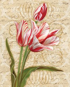Heirloom Tulip I
