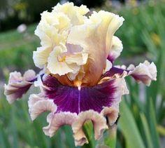 TB Iris Make Mine Magic = Blyth 12 Photo by Barry Blyth,