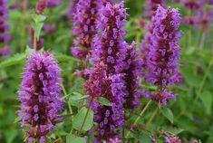faced down with TANSY between the mugo pines center big bed Agastache Blue Boa, Hyssop Blue Boa, Anise Hyssop Blue Boa, Hummingbird Mint Blue Boa, Mint Blue, Purple, Drought Tolerant, Autumn Summer, Garden Planning, Garden Paths, Blue Flowers, Plants, Hummingbird