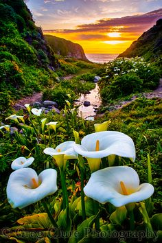 Calla Lily Sunset
