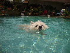 Staying cool in the pool #westie #westhighlandwhiteterrier #dog #pool #terrier