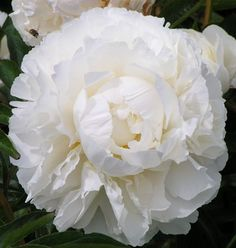 Herbaceous Peony Seeds Paeonia Bowl of Cream Seeds White Color Peony Flower Seeds Bonsai Perennial Garden Plant Seeds Peony Flower, Flower Seeds, Cactus Flower, White Roses, White Flowers, Yellow Roses, Purple Flowers, Pink Roses, Growing Peonies