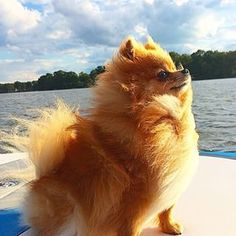Ginger, and all of her fierceness. | Community Post: 23 Pomeranians Who Want To Cheer You Up