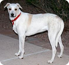 Gilbert, AZ - Greyhound/Labrador Retriever Mix. Meet Donny, a dog for adoption. http://www.adoptapet.com/pet/13837776-gilbert-arizona-greyhound-mix