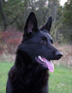 Solid Black German Shepherd, puppies