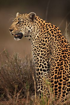 Watching and Waiting - the fantastic leopard! - I just adore this beautiful cat, muscular and strong, limbs like puppy's legs with a face and body so exquisitely marked. And according to a TV program they are very intelligent and plan their moves. Mundo Animal, My Animal, Beautiful Cats, Animals Beautiful, Majestic Animals, Big Cats, Cool Cats, Baby Animals, Cute Animals