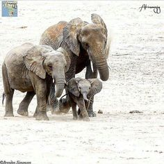@africanamazing - The Africanamazing Team is honoured to present this lovely image of a Elephant family . - Location : Unknown Congratulations: @brenden_simonson For info about promoting your elephant art or crafts send me a direct message @elephant.gifts or emailelephantgifts@outlook.com . Follow @elephant.gifts for inspiring elephant images and videos every day! . . #elephant #elephants #elephantlove