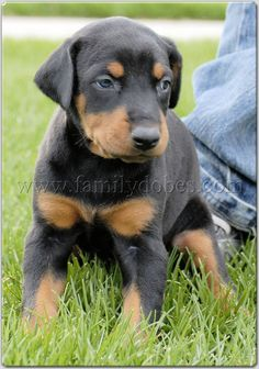 only if he promises to stay this cute and not turn into the vicious dobermann he is.